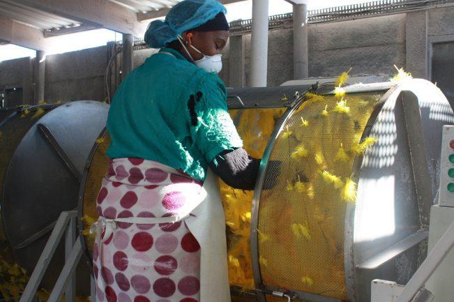 Afrikanische Arbeiter kosten fast keine Lohnkosten, deswegen wird jetzt outgesourct nach Äthiopien.